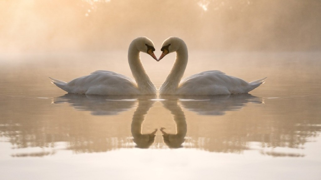 swan-bird-pond-kiss-fog-love-reflection-animals-720x1280